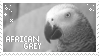 African Grey Stamp by opinionscentral