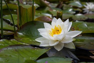 Open water lily by SmartDen