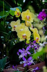 Orchidees Jaunes et Violettes by syenchong