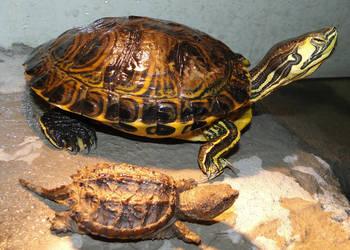 Turtles by Tokitae
