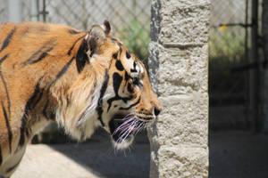 Tiger Oregon by NathanKroll