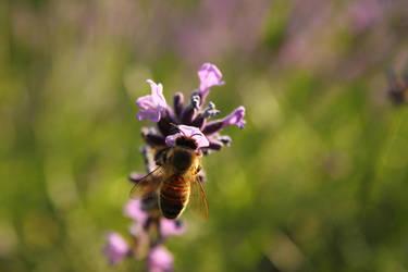 Lavendel Biene by Optionator