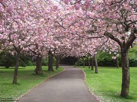 Cherry Blossom Lane by Gatesigirl
