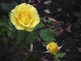 Yellow Roses by Gatesigirl