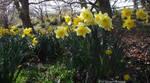 Daffodils by Gatesigirl