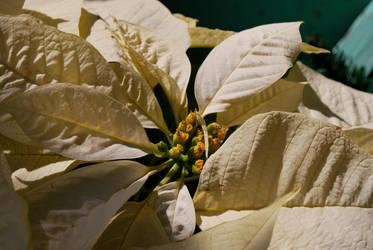 Poinsett's Flower by iAmLovely
