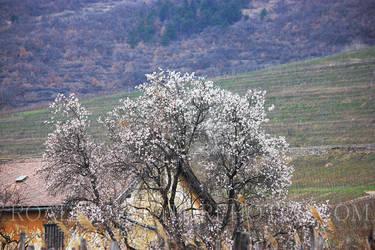 Mandulafa 001 (almond tree) by szolesz