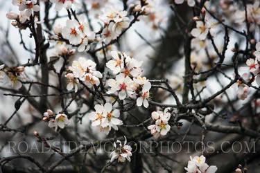 Mandulafa 002 (Almond tree) by szolesz
