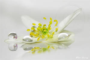 White Beauty by ninazdesign