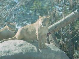 Lion by Breyer-Stock