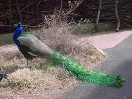Peacock by Breyer-Stock