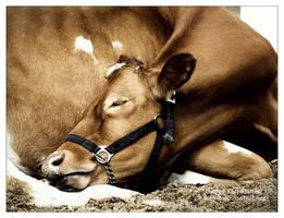 Cow Sleeping by Karl-B