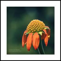 Sunflower X by Karl-B