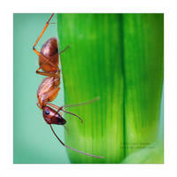 Ant on Lilly - Square by Karl-B
