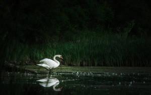 Swan II by MoonKey19