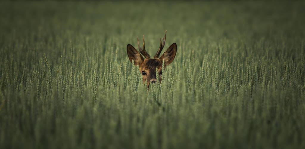 Roe deer hiding in the wheat by MoonKey19