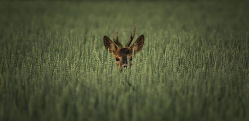 Roe deer hiding in the wheat by MoonKey19