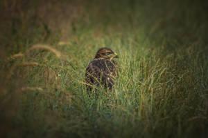 Common buzzard by MoonKey19