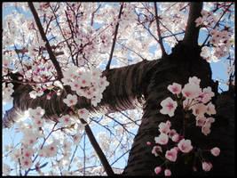 Cherry Blossom by starryeyedSTEPH
