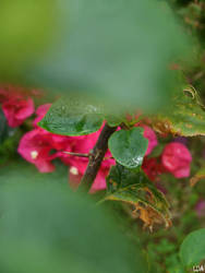 Bougainvillea after rain by LeoDalm