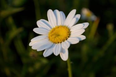 lazy daisy by AntesQueLuz