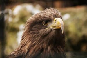 White-tailed Eagle by kaenguruu
