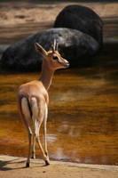 Dorcas Gazelle by kaenguruu