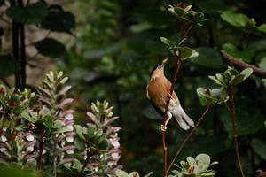 Brahminy starling by kaenguruu