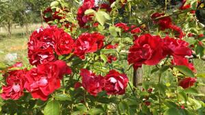 Roses1 by segroeg
