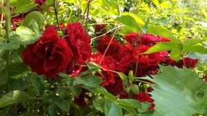 Roses2 by segroeg