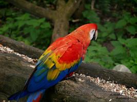 Another Scarlet Macaw by ChantalToutenhoofd