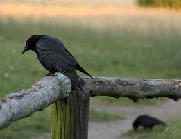 The Crow II by laracoa