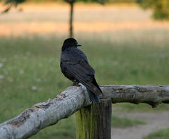 Crowback by laracoa