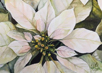 White Poinsettia by ebjeebies
