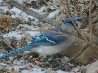 Blue Jay Bird by FurryHunter1360