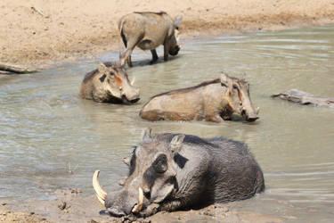Warthog - African Wildlife - Summer Swim by LivingWild