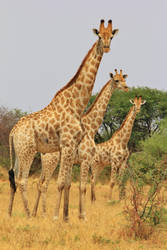 Giraffe, African Wildlife - All Shapes and Sizes by LivingWild