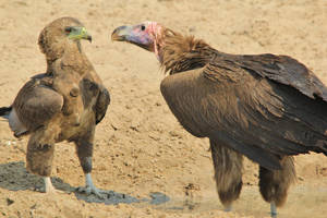 Lappet Faced Vulture and Bateleur Eagle Fight by LivingWild