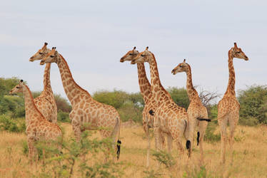 Giraffe - African Wildlife - Amazing Stare by LivingWild