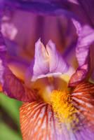 Summer Iris by cduerksie