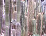 Cacti Stock by ValerianaSTOCK