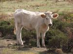 Cow Stock by ValerianaSTOCK