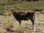 Cow Stock2 by ValerianaSTOCK