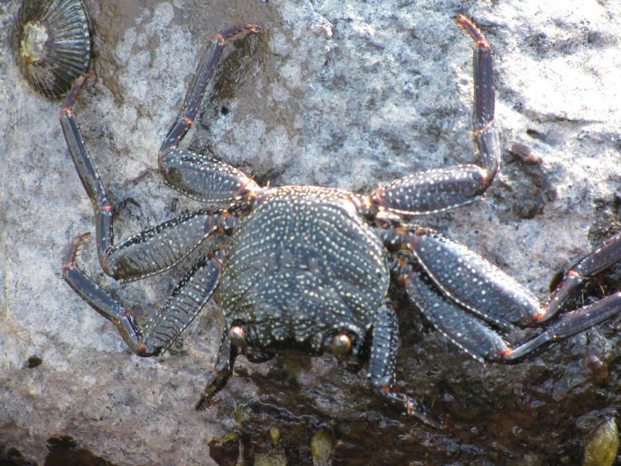 Blue Hawaii Crab by NaturalBornCamper