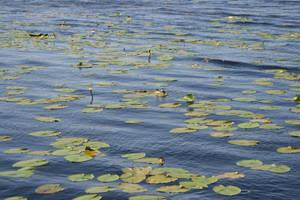 Waterlily by Iardacil-stock