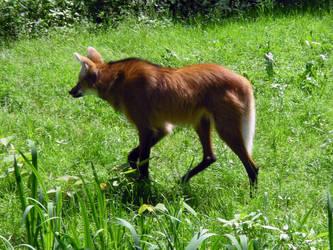 maned wolf 2 by Sancha-de-Aragone