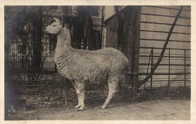 Happy Llama by Yesterdays-Paper