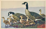 Canada Goose Family by Yesterdays-Paper