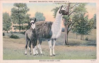 Vintage Washington D.C. - Llama Mama and Cria by Yesterdays-Paper