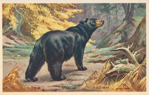 Black Bear by Yesterdays-Paper